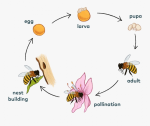 Life cycle of solitary bee